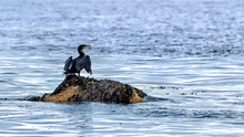 Cormorant Drying His Wings On A Rock In The Ocean