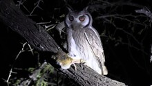 A Southern White Faced Owl Sits Perched In A Tree With Its Recent Kill Clutched In Its Talons. Night Shot Under A Safari Spotlight.
