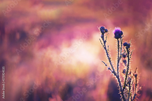 Canvas Print Purple thistle flower in the field
