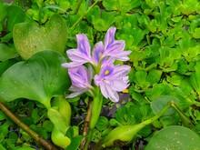 Water Hyacinth Blooming Stock Photo.