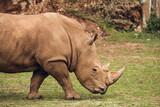 African white rhino walking