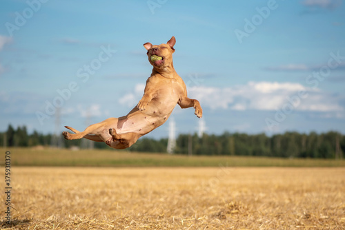 Fototapeta Funny American Pit Bull Terrier catching a ball in a jump on the field