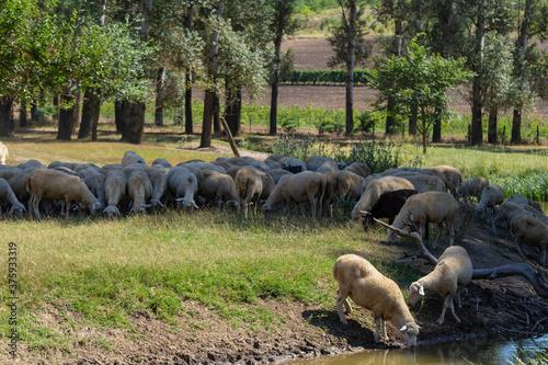 Slika na platnu Sheep on a watering hole