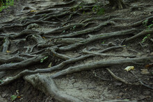 The Large Roots Of The Trees Intertwined And Form An Unusual Pattern On The Surface Of The Earth. Tree Roots As A Ladder For Tourists.