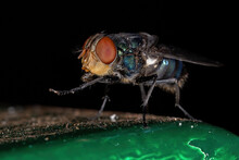 Oriental Latrine Fly Of The Sp...
