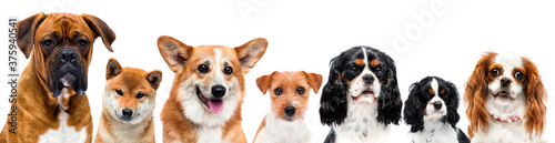group of dogs on white background in studio Fototapet