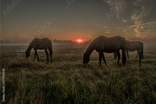 Fotografie, Obraz Horses grazing an early morning in the misty sunrise