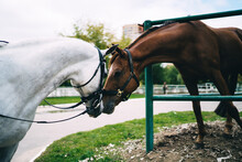 Two Horses In Equine Equipment...