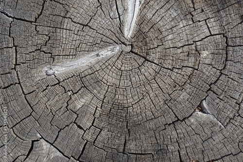 Old cracked tree stump texture. Natural wooden background. Tableau sur Toile