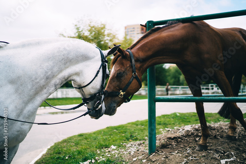 Two horses in equine equipment sniffing each other Fototapet