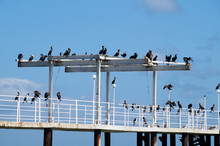 Cormorants Sit On A Sea Pier W...