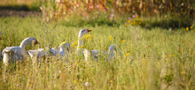 Domestic Geese On A Meadow. Fa...