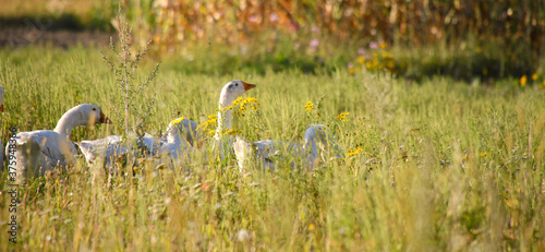 Photo Domestic geese on a meadow