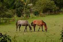 Pair Of Horses Grazing In A Fi...