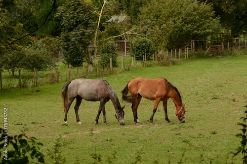 Pair of horses grazing in a field in Autumn Canvas Print