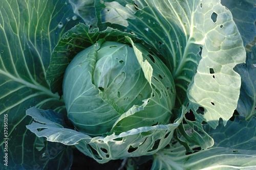 savoy cabbage on the market Fotobehang