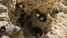 A Colony Of Cliff Swallows At Soda Butte In The Lamar Valley, Yellowstone National Park. Camera Locked.