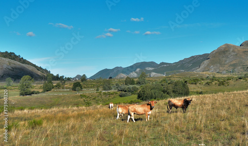 Photo vacas,montaña.campo