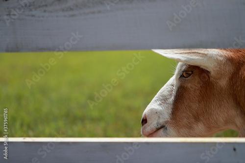 Fényképezés ヤギの横顔