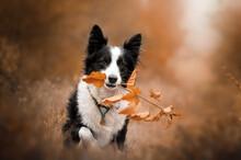 Border Collie Dog Lovely Portr...