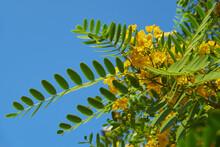 Yellow Jacaranda (Tipuana Tipu). Portugal