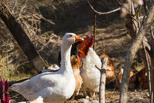 Photo portrait of the goose in the chicken coop on the farm