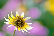 Closeup Of Daisy Outdoors In Sun