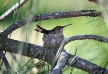 A Hummingbird Sitting In It's ...