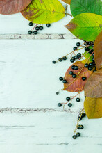 Bird Cherry Leaves And Berries...