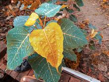 Ficus Religiosa ( Pipal Tree)