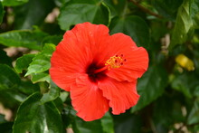 Red Hibiscus Flower In The Philippines