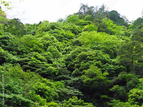 Obraz na plátně 三段峡、モフモフの森
