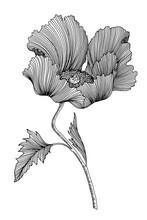 Illustration Pavot
