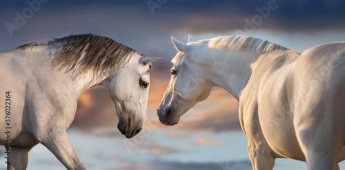 Fototapeta Two white horse with long mane run free against sunset sky obraz