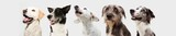 Fototapeta Zwierzęta - Banner five Pensive and attentive dogs pets looking up in a row. Isolated on gray background.