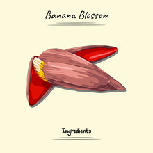 Banana Blossom Illustration Used Ingredients For Cooking Some Food, Sketch & Vector Style