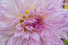 White With Pale Pink Edges Chrysanthemum Close Up