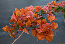 Bougainvillea Glabra Orange Fl...