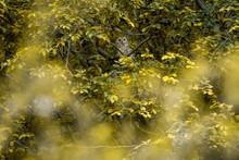 Indian Eagle Owl Or Rock Eagle...