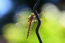 The Large Dragonfly Sits On An...