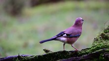 Two Jays Searchs Food From The...
