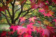 Japanese Maple Leaves Of Red A...