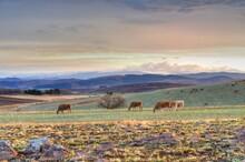 BEEF CATTLE Graze On Winter Pa...