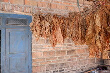 The Dried Tobacco Leaves Are Lined Up, With A Brick Wall Background