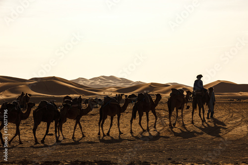 domestic dromedary in the desert in morocco at sunset Canvas Print