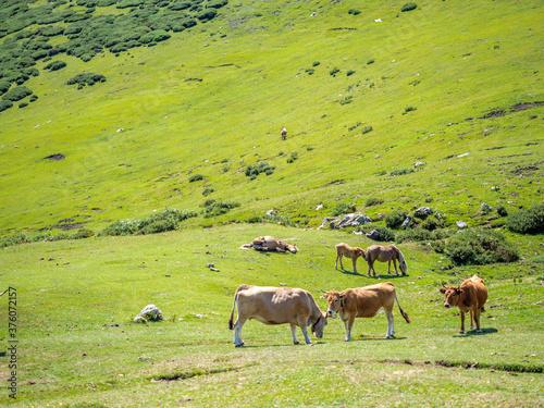 Vacas pastando Wallpaper Mural