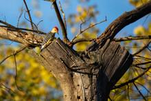 Male Red-bellied Woodpecker (C...