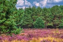 Heaher Scene In The Weerterheide  In Weert The Netherlands On 2 September 2020  With Daylight En Clouds
