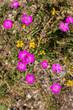canvas print picture - Heide-Nelke, Dianthus deltoides