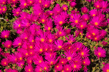 Magenta Pink Wild Flowers Clos...